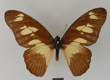 Graphium fulleri (Grose-Smith, 1883)