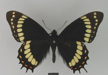 Papilio scamander Boisduval, 1836