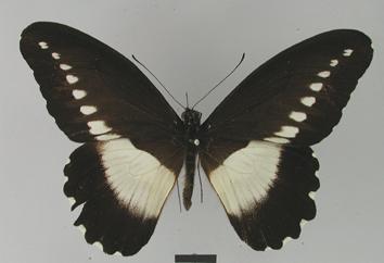 Papilio fuelleborni Karsch, 1900