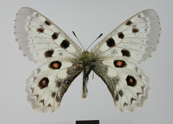 Parnassius tianschanicus Oberthür, 1879