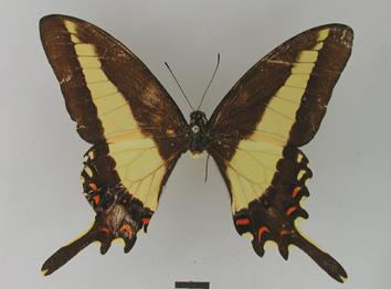 Papilio himeros Hopffer, 1865