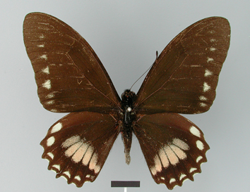 Mimoides phaon (Boisduval, 1836)