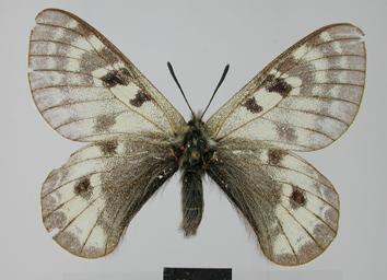 Parnassius patricius Niepelt, 1911