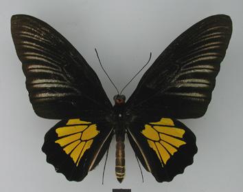 Troides oblongomaculatus (Goeze, 1779)