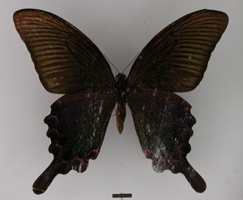 Graphium eurous (Leech, 1893)