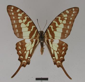 Graphium antheus (Cramer, 1779)