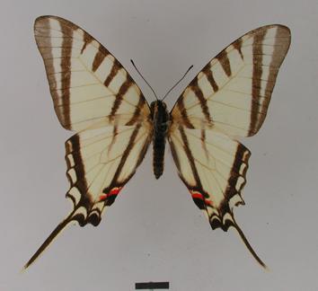 Protographium agesilaus (Guérin and Percheron, 1835)
