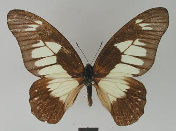 Graphium schubotzi (Schultze, 1913)