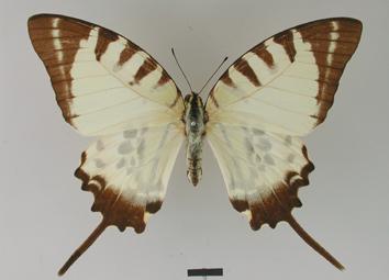 Graphium euphrates (Felder and Felder, 1862)