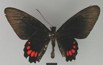 Parides panthonus (Cramer, 1780)