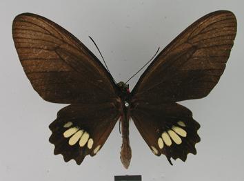 Parides pizarro (Staudinger, 1884)