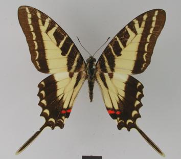 Protographium philolaus (Boisduval, 1836)