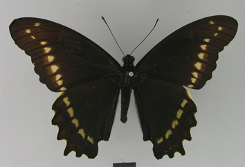 Battus polydamas (Linnaeus, 1758)
