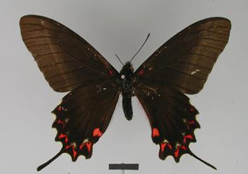 Mimoides lysithous (Hübner, 1821)