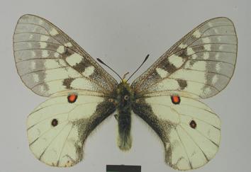 Parnassius clodius Ménétriés, 1855