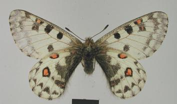 Parnassius jacquemontii Boisduval, 1836