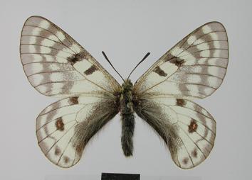 Parnassius staudingeri Bang-Haas, 1882