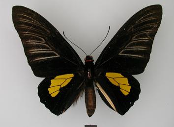 Troides haliphron (Boisduval, 1836)