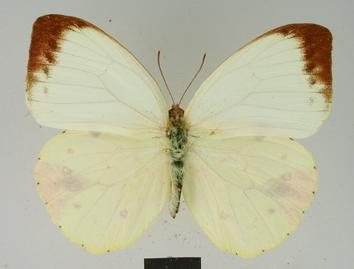 Eronia leda (Boisduval, 1847)