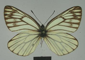 Aporia procris Leech, 1890