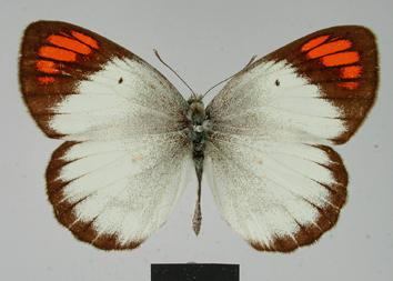 Colotis euippe (Linnaeus, 1758)