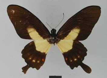 Papilio torquatus Cramer, 1777