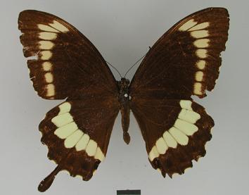 Papilio canopus Westwood, 1842