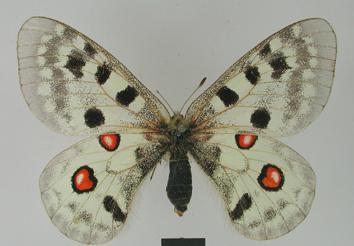 Parnassius apollo (Linnaeus, 1758)