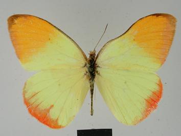 Colotis auxo (Lucas, 1852)