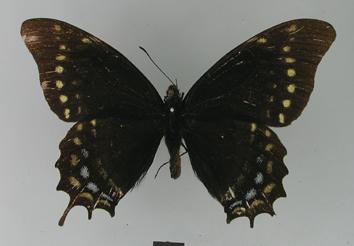 Papilio warscewiczii Hopffer, 1865