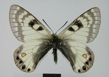 Parnassius stoliczkanus Felder and Felder, 1865