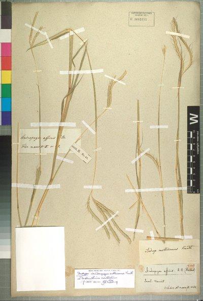 Dichanthium aristatum (Poir.) C. E. Hubb.