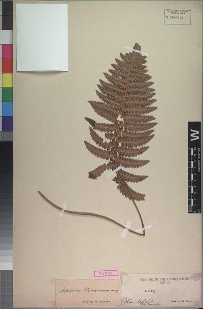 Polystichum richardii (Hook.) J. Sm.