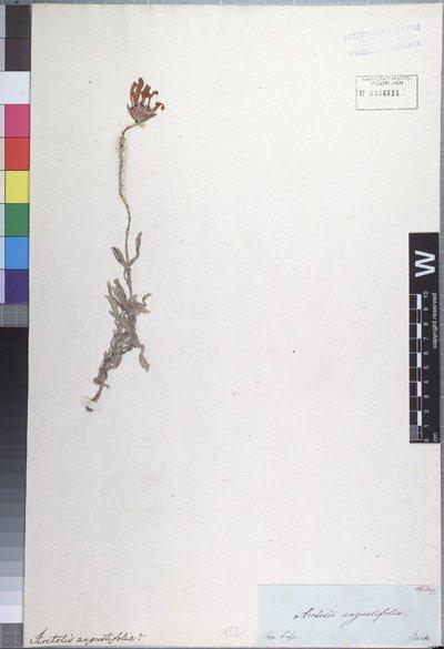 Arctotis aspera L.