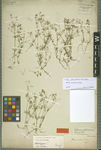 Galium austriacum Jacq.