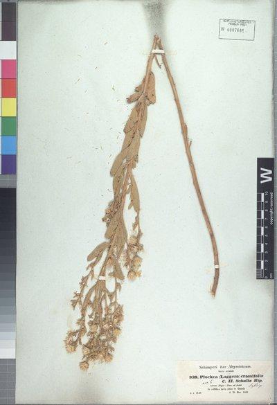 Laggera crassifolia (A. Rich.) Oliv. & Hiern