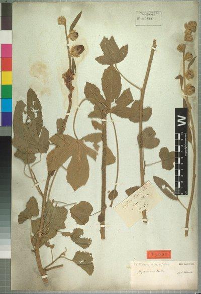 Hibiscus diversifolius Jacq.