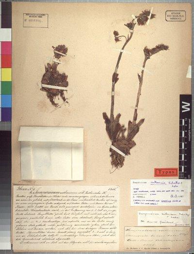 Sempervivum ruthenicum Schnittsp. & C. B. Lehm.