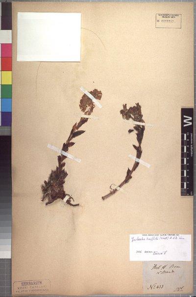 Jovibarba heuffelii (Schott) Á. Löve & D. Löve