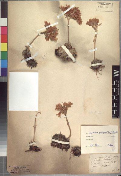 Jovibarba globifera (L.) J. Parn.