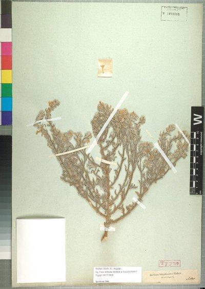 Arnebia hispidissima (Lehm.) DC.