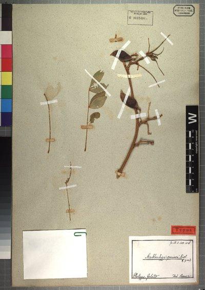 Streblorrhiza speciosa Endl.