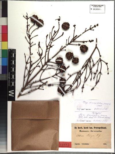 Tsuga diversifolia (Maxim.) Mast.