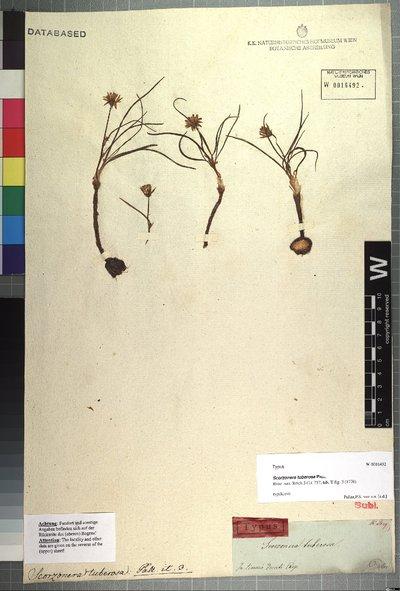 Scorzonera tuberosa Pall.
