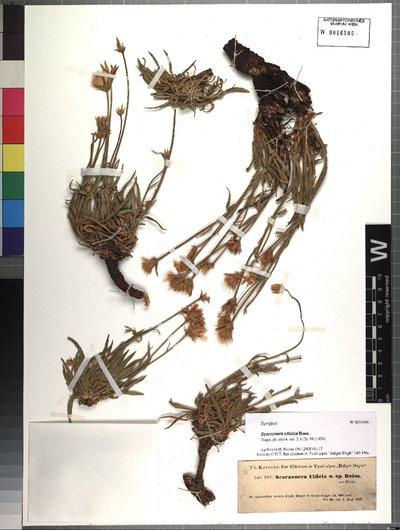 Scorzonera cilicica Boiss.