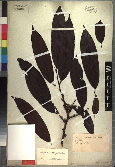 Guatteria elongata Benth.