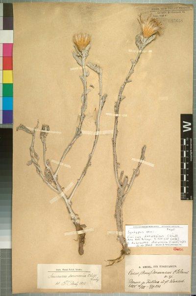Anacantha darwasica (C. Winkl.) Soják