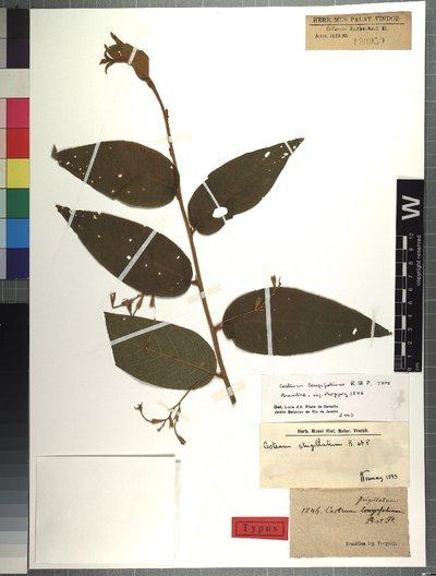 Cestrum strigillatum Ruiz & Pav.