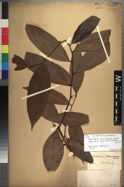 Guatteria blanchetiana R. E. Fr.
