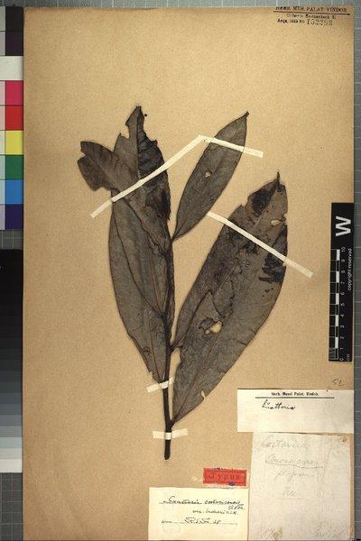 Guatteria costaricencis var. endresii R. E. Fr.